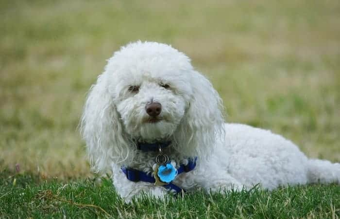 Best Dogs For Beginner Owners