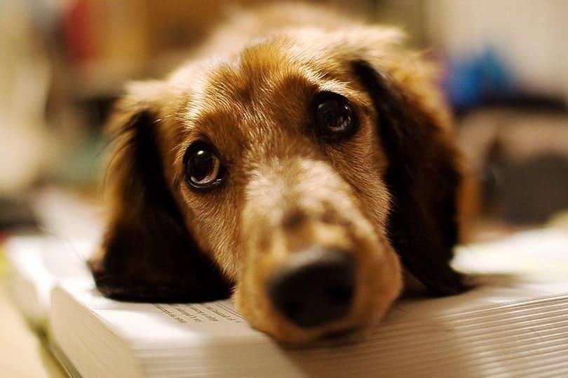 Do Dogs Cry? (The Truth Behind Dog Tears!) • Doggytastic!