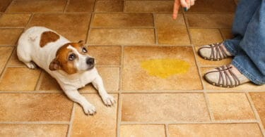 How to Stop a Dog From Peeing in the House?