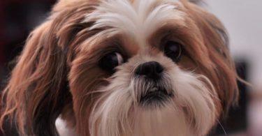 Are Shih Tzu Dogs Hypoallergenic?